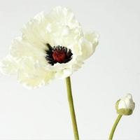 Cành hoa Poppy Trắng
