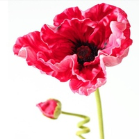 Cành hoa Poppy đỏ